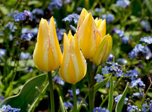 Yellow tulips with raindrops. Yellow and white tulips with raindrops on petals Stock Images