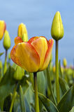 Yellow Tulips Reaching the Sky Stock Images
