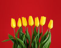 Yellow tulips on red background Stock Photos
