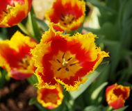 Yellow Tulips With Red Centres Stock Image