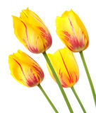 Yellow tulips with red stripes in a bunch of four Stock Images