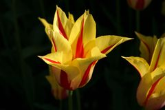 Yellow and Red tulips with dark background Royalty Free Stock Images