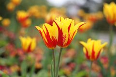 Yellow tulips with red strips. In the garden stock images