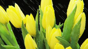 Yellow Tulips Rotating in Heavy Rain stock footage