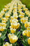 Yellow tulips row Stock Images