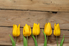 Yellow tulips in a row Royalty Free Stock Images