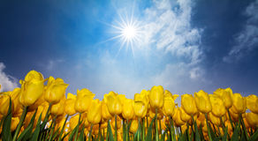 Yellow tulips sky Royalty Free Stock Photos