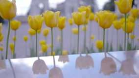 Yellow tulips and the sky are reflected in a shiny stone. HD, 1920x1080. Slow motion. Yellow tulips and the sky are reflected in a shiny stone stock video footage