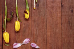 Yellow tulips and snail on a wooden background. Wooden brown boardwalk background with three yellow tulips and a snail Royalty Free Stock Photo