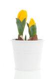Yellow tulips in spring Royalty Free Stock Photo
