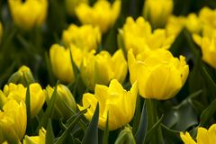Yellow tulips in the spring. Stock Photo