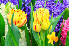 Yellow tulips and spring flowers Stock Photography