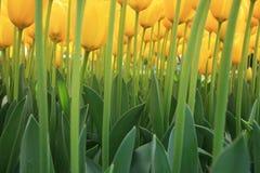 Through yellow tulips Royalty Free Stock Photos