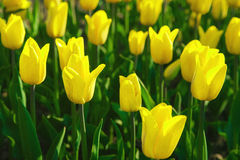 Yellow tulips in a spring garden Royalty Free Stock Photography