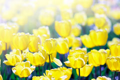 Yellow tulips in spring morning sunlight. Royalty Free Stock Photos