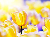 Yellow tulips in spring morning sunlight. Royalty Free Stock Photography