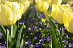 Yellow tulips in spring time Royalty Free Stock Photography