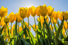 Yellow tulips in the sun Stock Photos