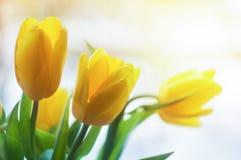 Yellow tulips in sunlight beams. Royalty Free Stock Photo
