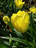 Yellow Tulips in Sunlight. These yellow tulip flowers are enjoying the sunshine. A large tulip flower dominates the scene, with smaller flowers in the background Stock Photo