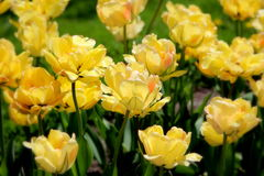 Yellow tulips in the sunshine Royalty Free Stock Photo