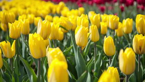 Yellow tulips swaying in the wind stock video footage