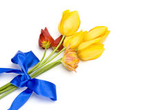 Yellow tulips tied with a blue ribbon. Isolated on white, beautiful spring flowers Stock Image
