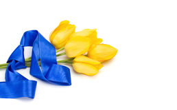 Yellow tulips tied with a blue ribbon. Isolated on white, beautiful spring flowers Royalty Free Stock Photography