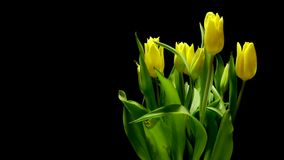 Yellow Tulips Time-lapse stock footage