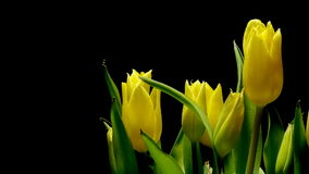Yellow Tulips Time-lapse. Time-lapse of tulip flowers blooming. Studio shot over black stock footage