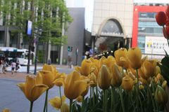 Yellow Tulips. Tulip flowers in the city, Japan Stock Images