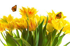 Yellow tulips two butterflies Stock Photo