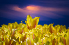 Yellow Tulips Under a Stormy Sky Stock Photos