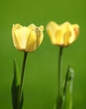 Yellow Tulips. Up close Royalty Free Stock Photography