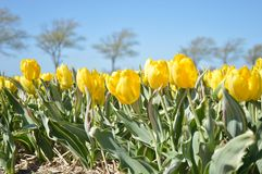 Yellow Tulips. This is us new type Yellow tulip; Bellona Design. We have a flower bulb company in The Netherlands Royalty Free Stock Photos