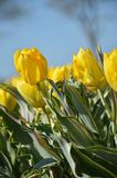 Yellow Tulips. This is us new type Yellow tulip; Bellona Design. We have a flower bulb company in The Netherlands Royalty Free Stock Image