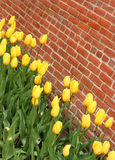 Yellow Tulips. Vividly colored yellow tulips along a brick wall stock photos