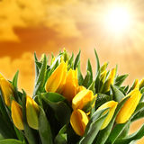 Yellow Tulips with Water Drops Stock Photos