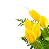 Yellow tulips on white Stock Photos
