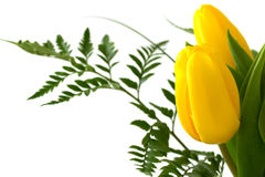 Yellow tulips on white Stock Photography