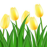 Yellow tulips. On a white background Stock Images
