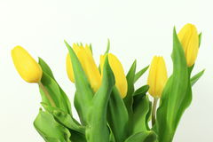 Yellow tulips. On white background Royalty Free Stock Photography