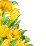 Yellow tulips on white background Royalty Free Stock Images