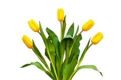 Yellow tulips on a white background. Flowers lie around.  stock photos