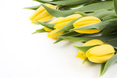 Yellow tulips on a white background Stock Image
