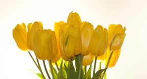 Yellow tulips on white background, studio picture . Yellow tulips on white background, studio picture stock photography