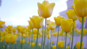 Yellow tulips in the wind. HD, 1920x1080. Slow motion stock footage