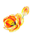 Yellow tulipsisolated on white, oil painting Stock Images