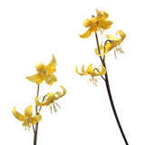 Yellow Tuolumne fawn lily or Еrythronium tuolumnense flower isolated on white background. Yellow Tuolumne fawn lily Еrythronium tuolumnense flower isolated on Stock Photos