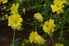 Yellow Tuplis flower stock photography